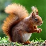 squirrel-493790_640-1